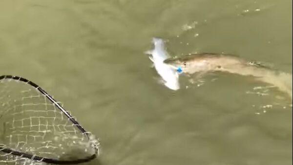 Dos por el precio de uno: así pescan los suertudos - Sputnik Mundo