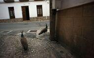 Pavos reales en las calles de Ronda, España, durante la cuarentena