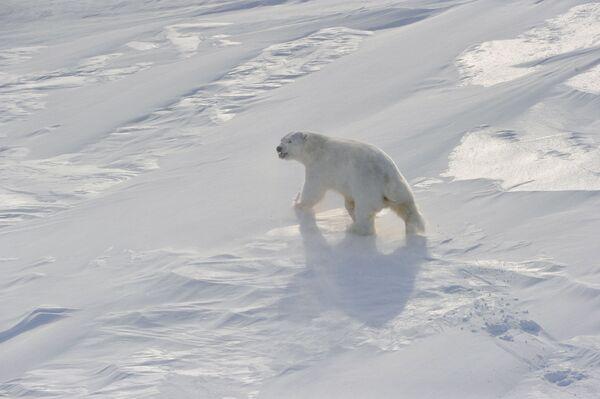 Ecólogos temen por el futuro del oso polar - Sputnik Mundo