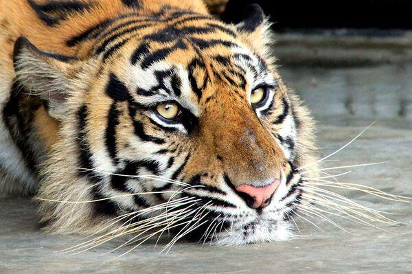 Concierto en apoyo a la Cumbre del Tigre se dará en San Petersburgo - Sputnik Mundo
