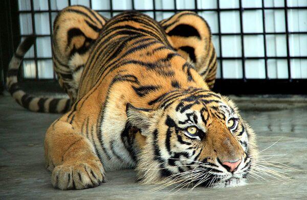 Zoológico indio de luto por muerte de tigresa, una de las más ancianas del planeta - Sputnik Mundo