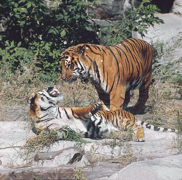 Más de 13 mil cazadores furtivos de tigre detenidos en catorce años por inspección especial en Lejano Oriente de Rusia - Sputnik Mundo