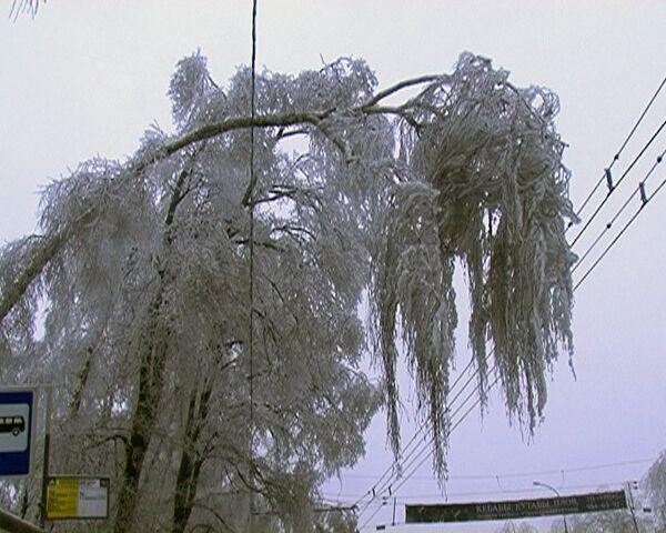 Los árboles que se doblaron y se quebraron después de la lluvia de hielo, morirán - Sputnik Mundo