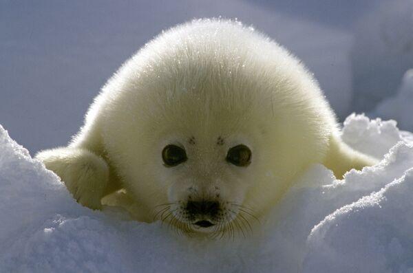 """""""Orfanato"""" para crías de foca inaugurado en los alrededores de San Petersburgo - Sputnik Mundo"""