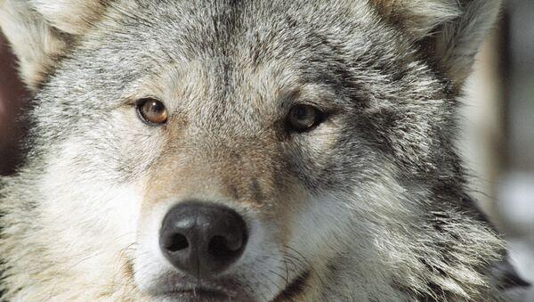 Un lobo - Sputnik Mundo