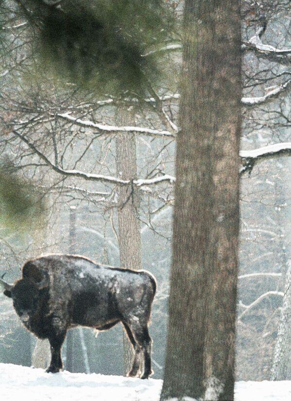 30 bisontes de Canadá serán traídos a Siberia para apoyar su preservación - Sputnik Mundo