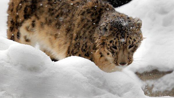Leopardo de las nieves (irbis) - Sputnik Mundo