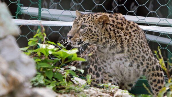 Hembra de leopardo de Persia en el parque zoológico de Sochi - Sputnik Mundo