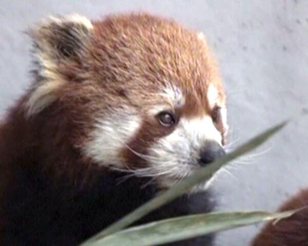 Más de cuarenta pandas rojos vivirán en el parque nacional de China - Sputnik Mundo