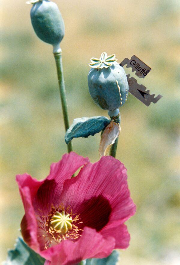 Ingresos por producción de opio en 2011 se estiman en 9% del PIB de Afganistán - Sputnik Mundo