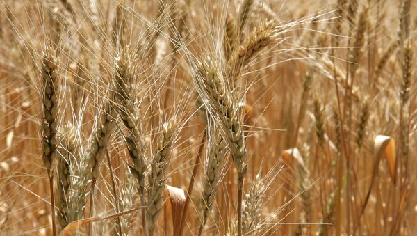 Rusia puede exportar más de 30 millones de toneladas de cereales en la próxima temporada agrícola - Sputnik Mundo