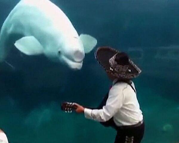 La ballena beluga baila al son del mariachi - Sputnik Mundo