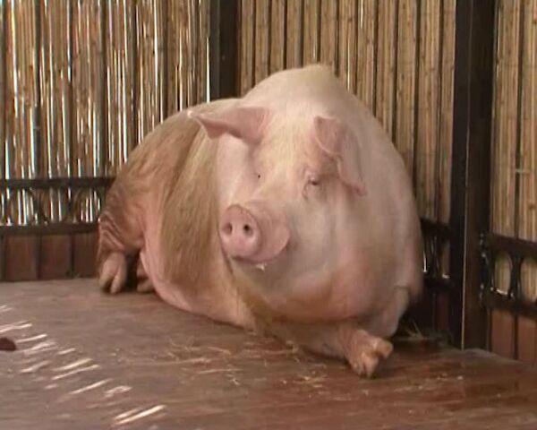 El cerdo Fúntik predice el ganador de cada partido en Eurocopa 2012 - Sputnik Mundo