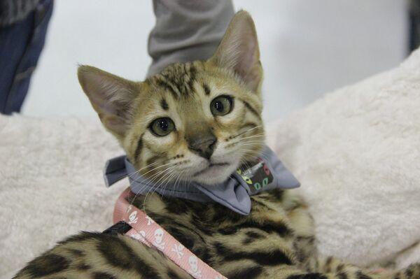 Exposición de gatos Expokot 2012 en Moscú - Sputnik Mundo