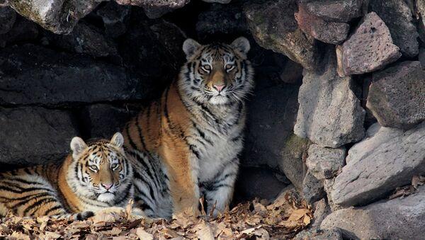 Rusia se propone entregar a Irán dos tigres siberianos - Sputnik Mundo