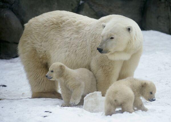 """El Ártico vive un """"baby boom"""" con el nacimiento de 5.000 crías de oso polar - Sputnik Mundo"""
