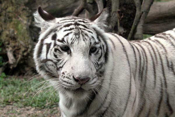 Tigres blancos y sus crías en el parque natural Chimelong de China - Sputnik Mundo