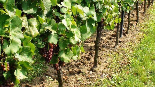 Expertos auguran escasez de vino por la caída de producción en el Mediterráneo - Sputnik Mundo