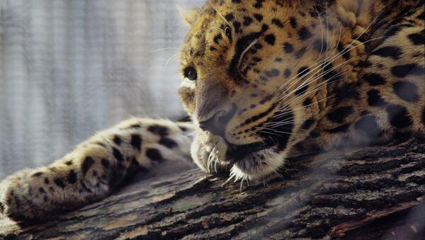 Leopardo del Amur (archivo) - Sputnik Mundo