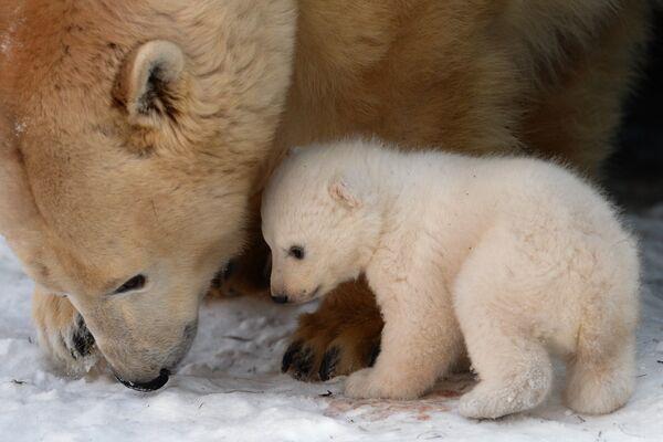 Paseo de un osito polar en el zoológico de Novosibirsk - Sputnik Mundo