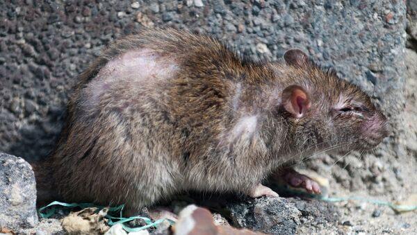 Científicos japoneses crean olor que espanta a los roedores - Sputnik Mundo