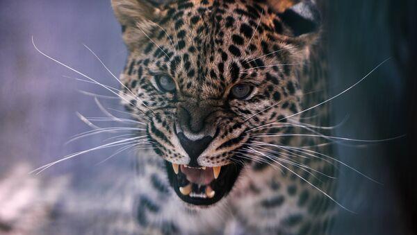 Un leopardo (Archivo) - Sputnik Mundo