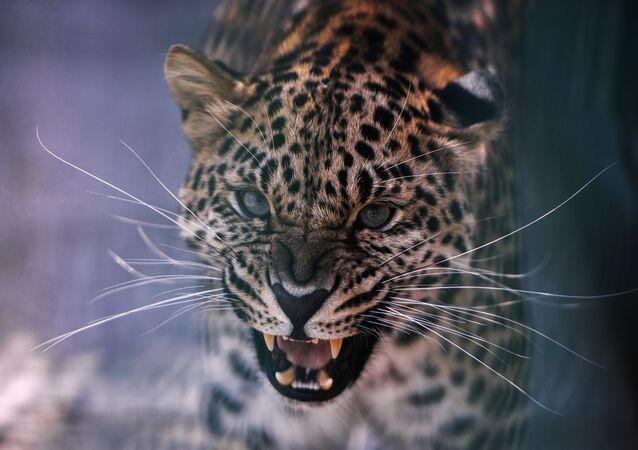Un leopardo (Archivo)
